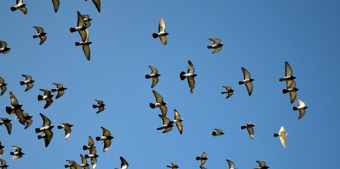 Coronaperikelen op het duivenhok