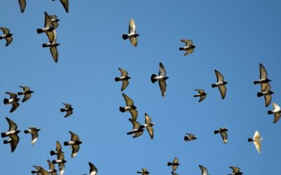 Corona-Problematik auf dem Taubenschlag