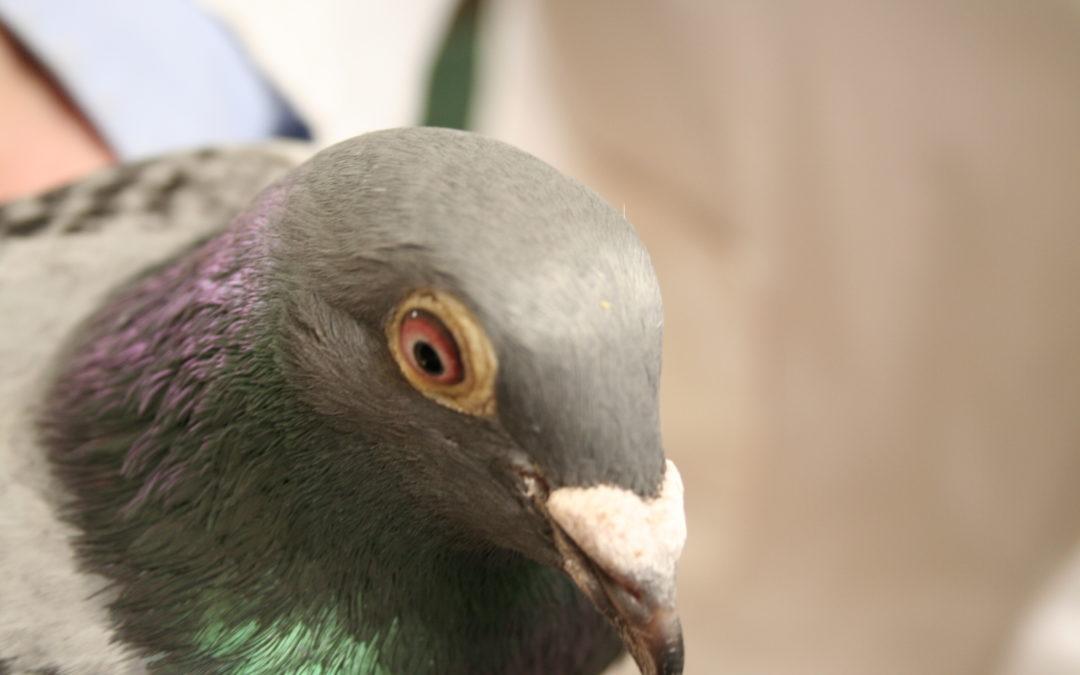 Tote Tauben, ein Albtraum für jeden Taubenzüchter
