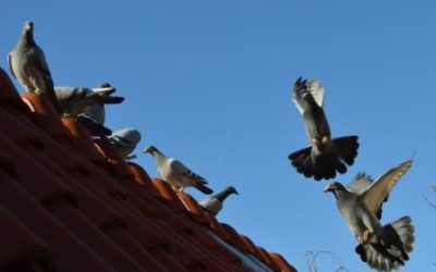 Riddles in pigeon racing