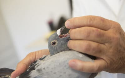 Aspergillosis in pigeons
