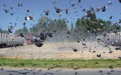Vluchtseizoen oude duiven