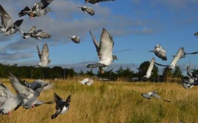 Vluchtseizoen jonge duiven